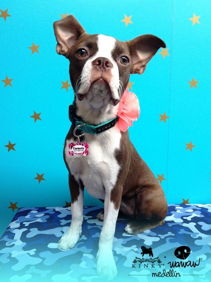 Beautiful ears Boston Terrier
