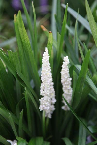 Perfect for a small low maintenance garden, lily-turf Liriope muscari 'Monroe White' works well in containers or borders