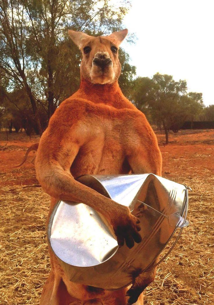 Roger the kangaroo - The Kangaroo Sanctuary Alice Springs/Facebook