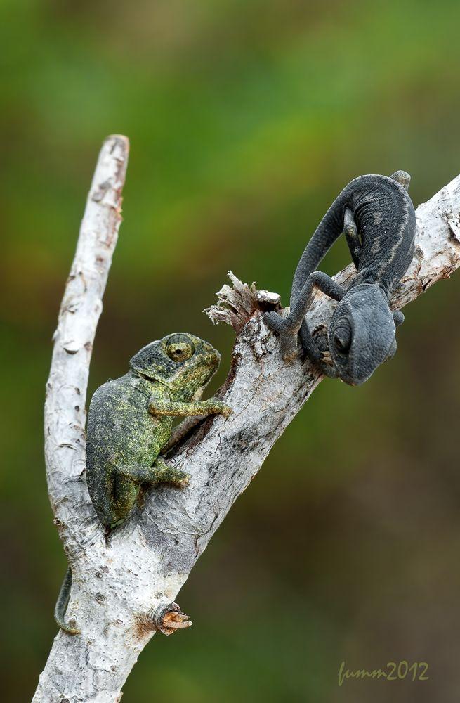 Chameleons by Igor Fumm