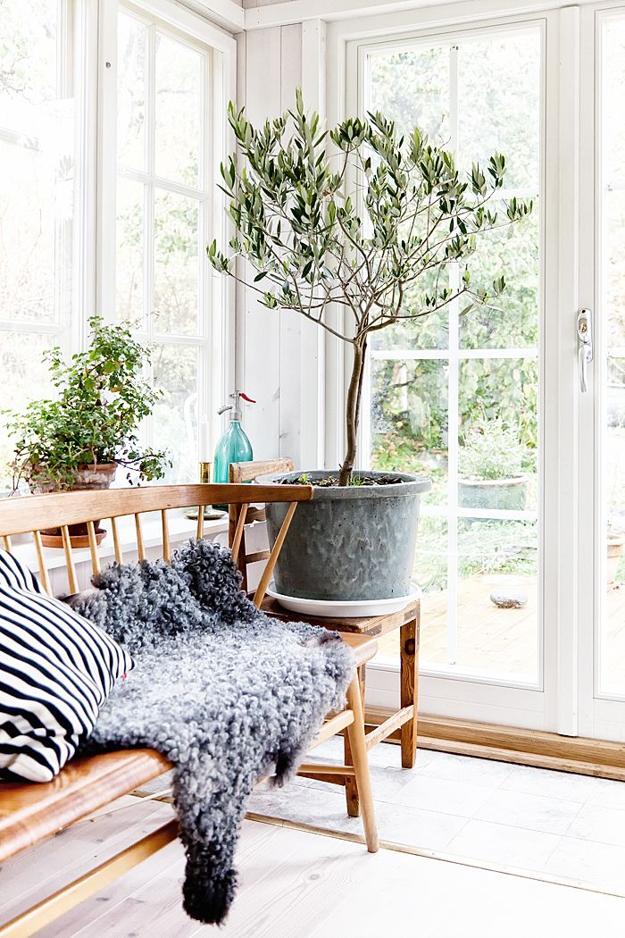 potted olive tree in the sunroom | lotta lindekrantz sultan