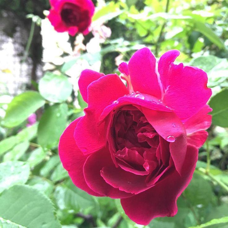 #今日は雨 #ウィリアムシェイクスピア2000 #合ってた #rosaorigram #baraiegram #rose #flowerslovers http://gelinshop.com/ipost/1522053577576350736/?code=BUfa6okjQQQ