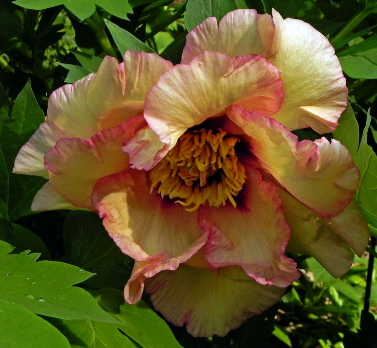 Ariadne in 2013 - she's slow to get going, but on any given day in a variety of light, this tree peony shows its subtle colors.