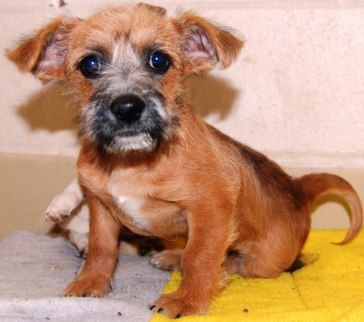 Terrier Puppies Terrier Mix • Young • Male • Small San Angelo Animal Shelter San Angelo, TX