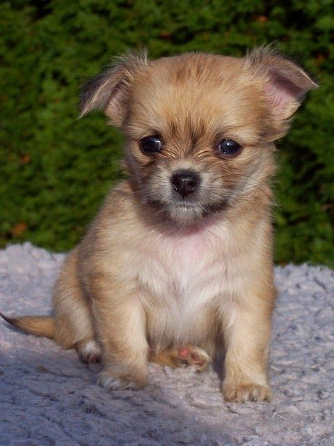 are chihuahua hypoallergenic 1000 ideas about smallest dog breeds on pinterest best 214
