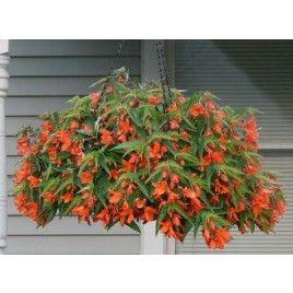 Begonia 'Encanto Orange' (Begonia boliviensis híbrido)