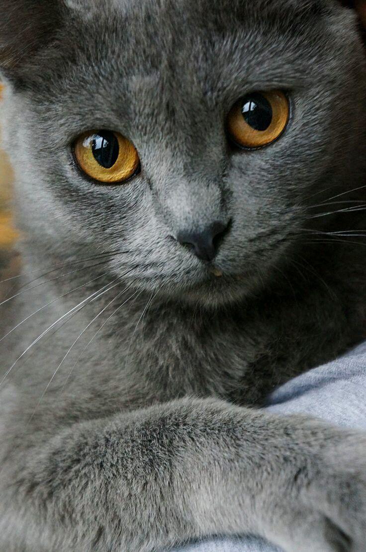 фото серой кошки с желтыми глазами имеет более высокую