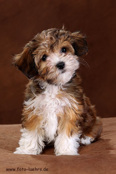 red havanese puppy girl with white markings /www.bellahabanitashavaneser.de germany