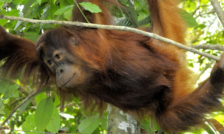 The forests orangutans call home are a vital source for fresh water. Rivers and streams from these forests provide local communities with water for drinking, cooking, bathing, irrigation and hydroelectricity. The forests are also a valuable source for wildlife products like honey and rattan.
