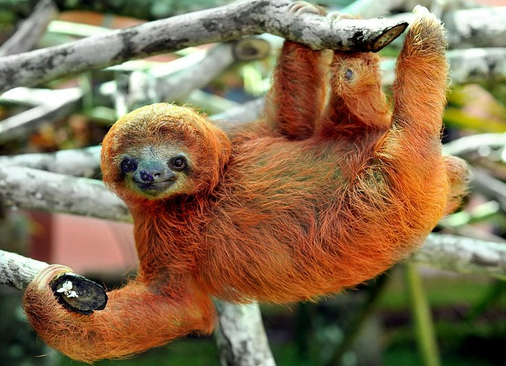 Sloth sanctuary just hanging out meet the adorable occupants of costa ricas sloth