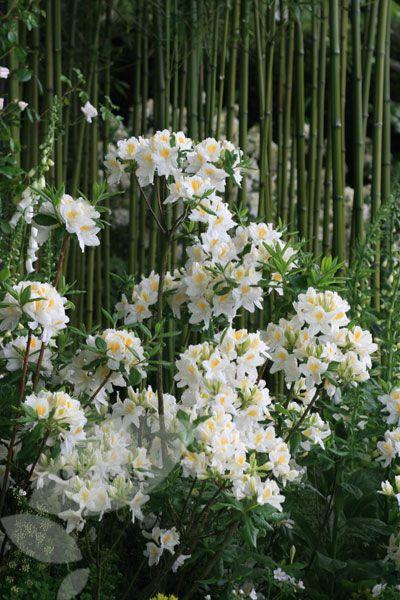 Buy deciduous azalea Rhododendron 'Silver Slipper': Delivery by Crocus