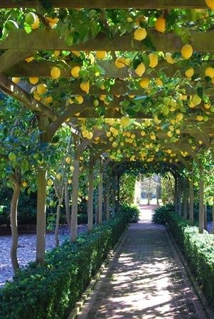 Wire Espalier lemon tree. Loving this walkway