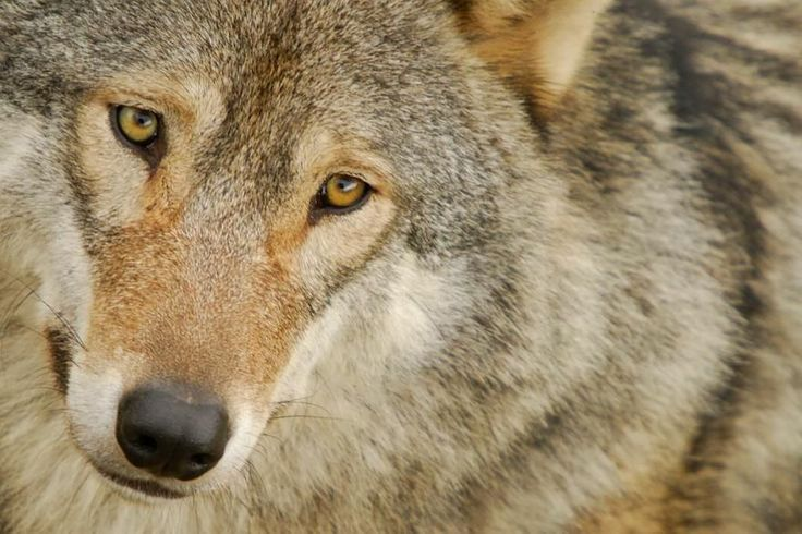Big bad wolf ? No, wolves are never bad, they follow their istinct ...