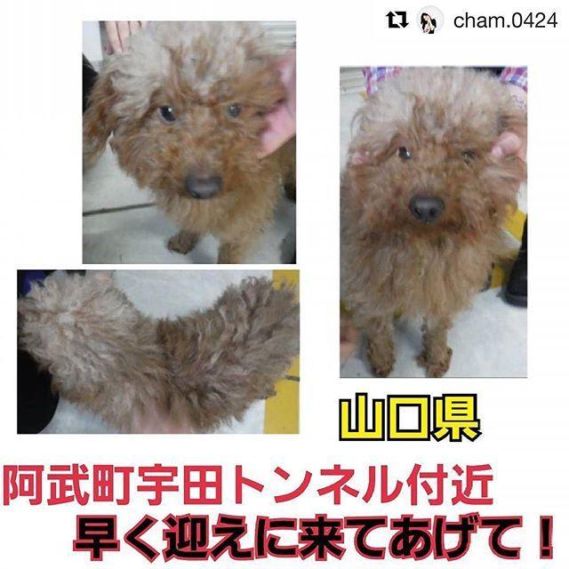 #Repost @cham.0424 ‼️緊急‼️ #山口県 #犬 #トイプー #里親募集 どうしてトンネル付近?捨ててないこを願いたいです。 * * 山口県阿武町宇田宇田トンネル付近で保護され、現在萩健康福祉センターに収容されています。トイプードルミックス?の男の子です。まずは迷い犬と信じて飼い主さんを探します。今日までに飼い主さんが見つからなければ、ペットのおうちからも新しい飼い主さんを探す予定です。命の期限は一週間、待ってはくれません。どうかこの子の命が繋がりますように。拡散により繋がる命がたくさんたくさんあります!どうかどうか宜しくお願い致します。 * * 萩健康福祉センター 生活環境課 食品衛生班  TEL 0838-25-2665 * * 管理番号:28-8-115保護場所:山口県阿武町宇田宇田トンネル付近 種類:トイプードルミックス? 性別:オス 大きさ:小さめの中 毛色:茶 その他:よく馴れている、首輪なし、約5kg * * #保護犬 #殺処分 #殺処分ゼロ #動物愛護 #山口県 #周南市 #柳井市 #岩国市 #長門市 #萩市 #防府市 #下関市 #山口市…