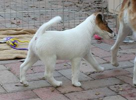Ohhhh look at the Bellwood's Smooth Fox Terrier Puppy