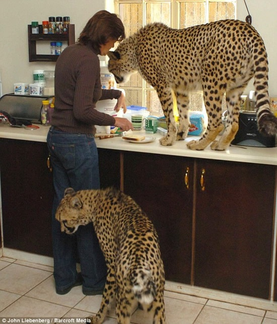 Riana Van Nieuwenhuizen thought she should do her part in saving cheetahs from extinction, so she bought one back in 2006. The 46-year-old South African left her job at the department of justice and found some temporary employment on a game ranch, where she could raise Fiela.