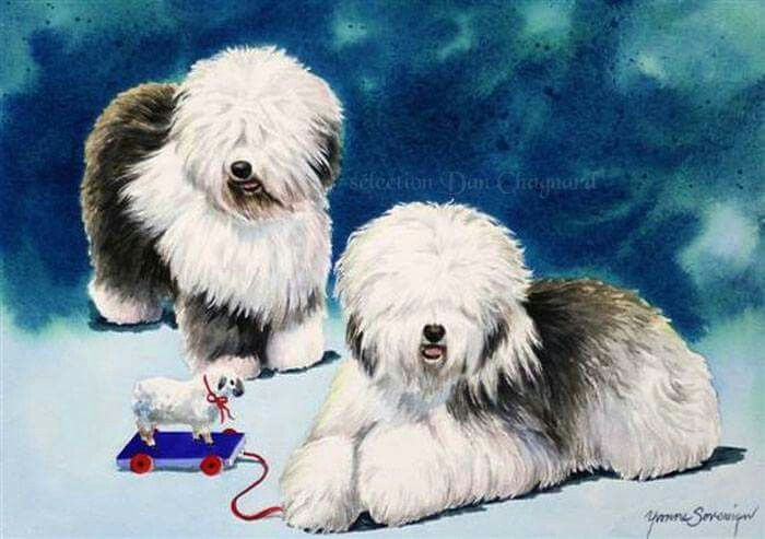 Old English Sheepdogs.
