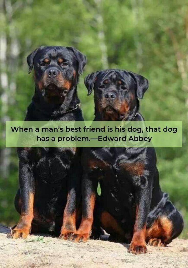 More About The Confident Rottweiler Pups Health Rottweilers
