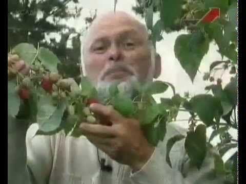 Малина ремонтантная  посадка, выращивание и уход