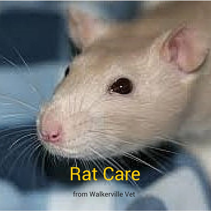 Would you like to know more about caring for rats and mice?