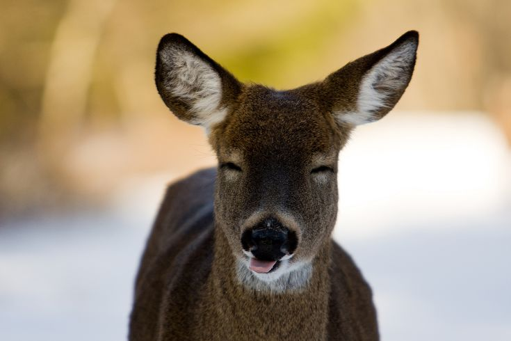 nothing: Favorit Things, Deer Photography, Funnies Pictures, Funnies Pics, 100 Things, Happy Deer, Animal Smile, Cuti Animal, Adorable Animal