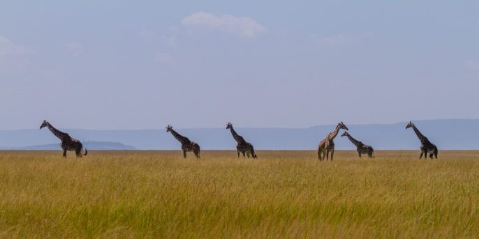 DNA+Analysis+Reveals+Four+Distinct+Giraffe+Species