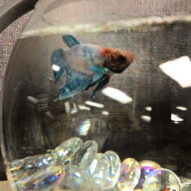 17 best images about fishy friends on pinterest rainbow for Caring for a betta fish in a bowl
