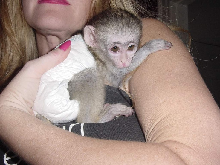 capuchin monkeys for sale - Google Search
