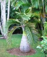 Bottle Palm Tree Care Instructions
