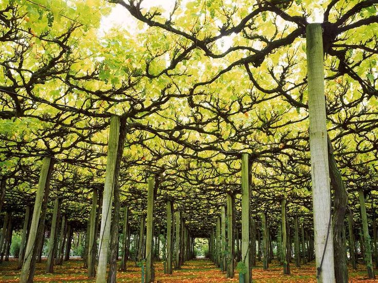 Ornamental Grape Vines Over Pergola Google Search
