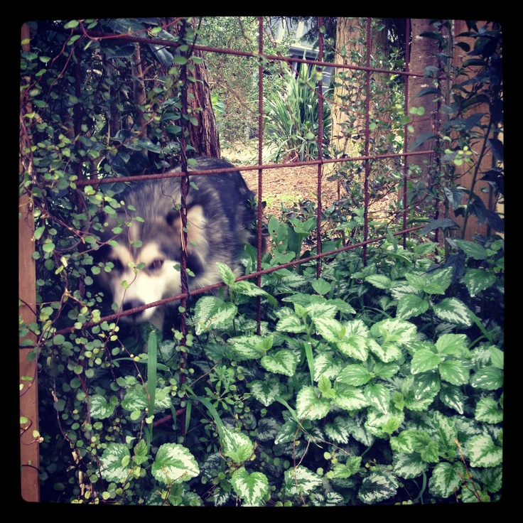 Wolf in the garden at wombat hill house Daylesford