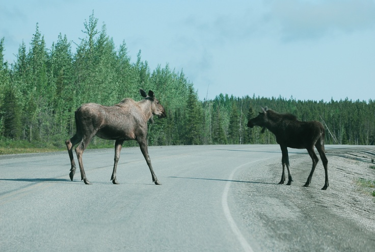 Better drive slowly on the ALCAN hwy. - you never know what will step in front of your car!!