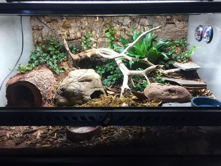 Pasta, my African fat tailed gecko, lives in a 24 x 12 x 18 Exo Terra terrarium modeled after a subtropical scrubland, and it's gotta be my favorite thing I've ever built, EVER! Even more than my planted tanks... which I'm always rescaping and rearranging But mostly because it's so low maintenance. The plants are doing great, the clean up crew colonies are finally taking off after like two months, and you can even see Ficus pumila vines starting to climb up the back wall! So happy with...