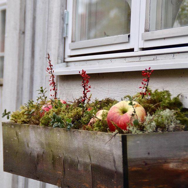 Julpiffat lite i min blomlåda Allt kommer från trädgården  såsom mossa, äpplen samt kvistar med röda bär. Kram denna milda måndag❤️ #blomlåda #julpynt #julblommor #christmasdecorations #trädgård #trödgårdsinspiration #mygarden #mygardentoday #advent #jul #christmas