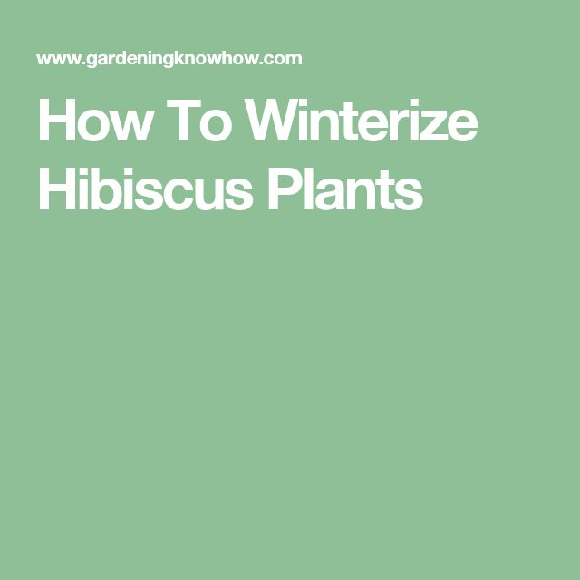 How To Winterize Hibiscus Plants