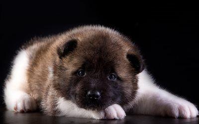 Scarica sfondi piccolo cane, cucciolo, akita, americano