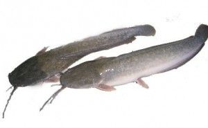 Health Benefits of Catfish - The benefits of catfish (in Latin called Clarias) is a question that often comes to mind