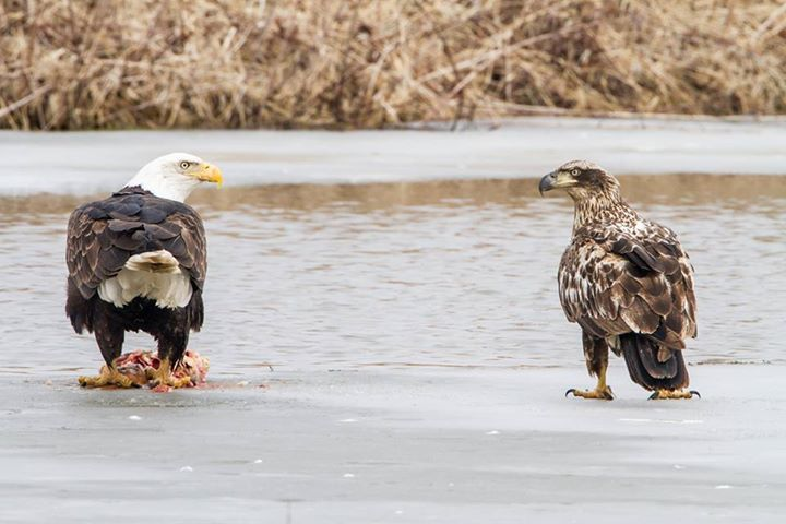 Here's a cool pic of two Bald Eagles staring each other down at Upper Mississippi Wildlife & Fish Refuge. Located in four states along the Mississippi River — Minnesota, Wisconsin, Iowa and Illinois —...