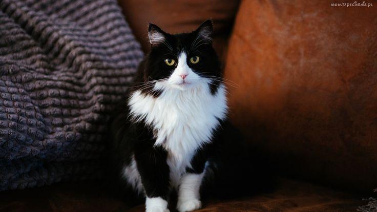 Kot, Czarno, Biały