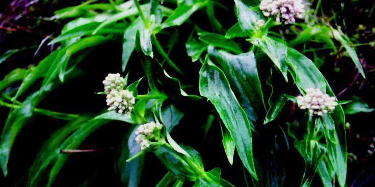 Jatamansi | Nardostachys jatamansi | Herb and herbal remedies| Ayurveda online consultation | Ayurvedayogashram