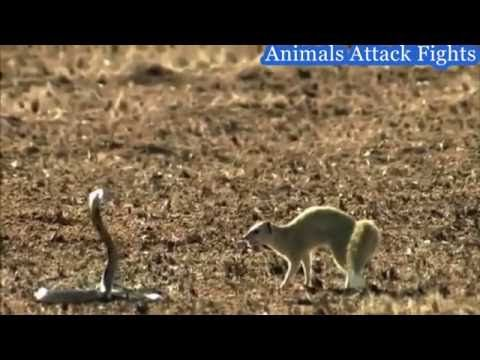 king Cobra vs Mongoose real fight | Mongoose VS Snake Must Watch HD 2016...