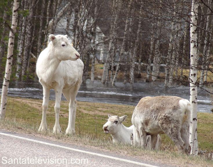 Santa Claus' reindeer on the road in Lapland