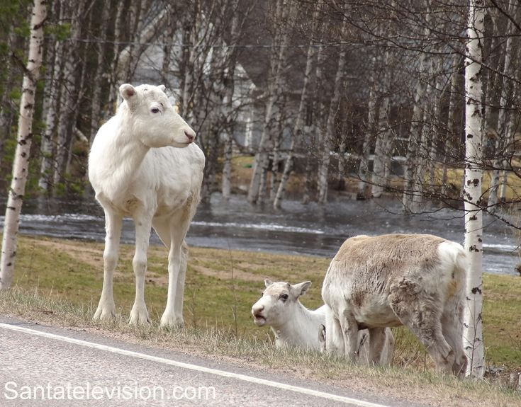 Los Renos de Papá Noel / Santa Claus de Laponia están de nuevo de viaje