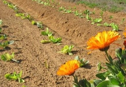 Los agricultores llevan mucho tiempo experimentando con plantas silvestres, intercalando menta, albahaca, tomillo o melisa entre las hortalizas, o plantando aromáticas como lavanda, romero, salvia...