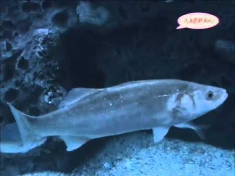 Ζώα & Ψάρια της Θάλασσας - Λαβράκι