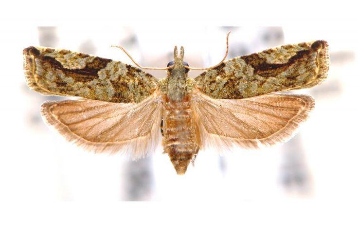 NODULIFEROLA neothela (Turner, 1916) Binna Burra Qld Female