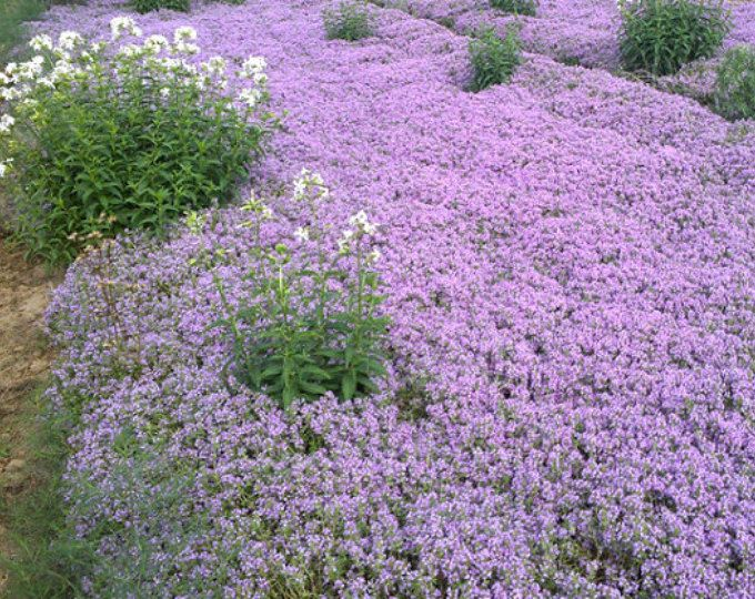 Thymus serpyllum Creeping Thyme Ground Cover Violet Flower 1,000 Seeds #1173