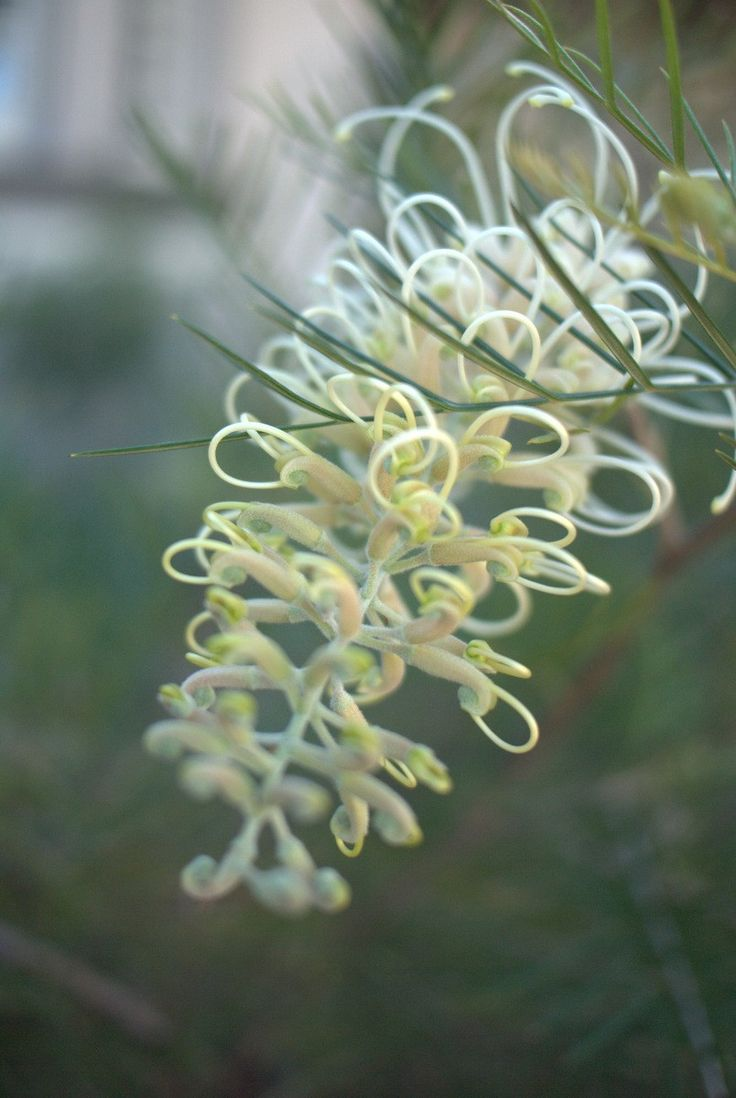 Grevillea 'Ivory Whip' Grafted