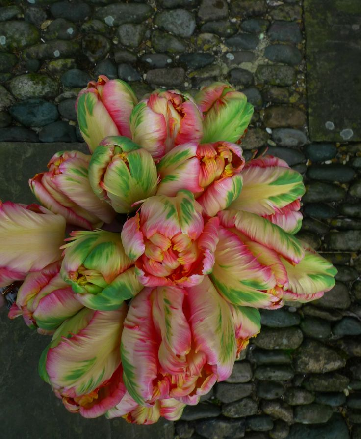 Parrot tulips. Must find source for these bulbs in the fall.