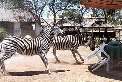 Zebra brawl